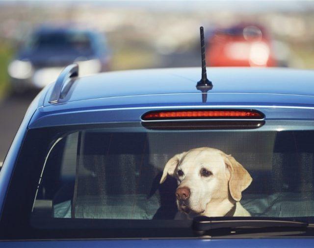Pies w zatrzaśniętym samochodzie. Co robić?